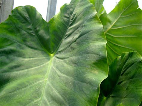 large leaf taste of nepal july 2012