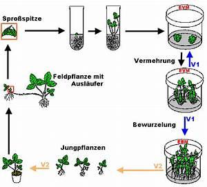 Erdbeeren Wann Pflanzen : vdbiol lv baden w rttemberg ~ Frokenaadalensverden.com Haus und Dekorationen