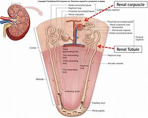 Human Anatomy Diagram Kidney Internal Organs