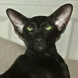 black cat breeds russian black kitten puppy gallery