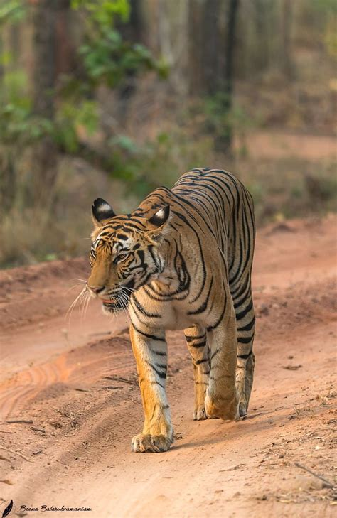 Best Tail Two Tigers Images Pinterest Wild