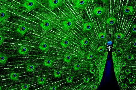 colorful peacock peacock green wings colorful photo hd wallpaper desktop