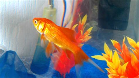 odile mes petits poissons rouges hd
