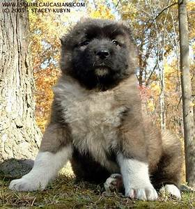 17 Best images about Russian Caucasian Mountain Dog! on ...