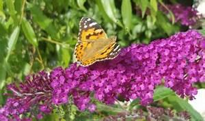 Schmetterlinge überwintern Helfen : wie sie n tzlingen beim berwintern in ihrem garten helfen k nnen ~ Frokenaadalensverden.com Haus und Dekorationen