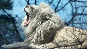 Subhana'llah: White Lion (IMAGES) | PASS THE KNOWLEDGE ...
