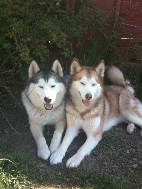 difference between the alaskan malamute with a siberian