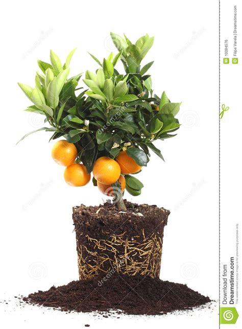 Small Orange Tree Isolated On White Royalty Free Stock
