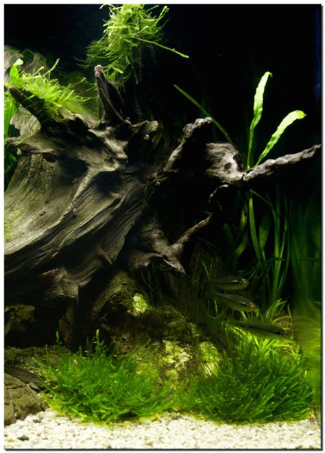 aquascaping with driftwood aquascape of the month november 2009 quot riverbank