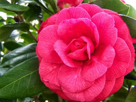 what is the state flower alabama state flower picture beautiful flowers