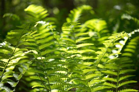 picture fern leaves green fern plants forest woods