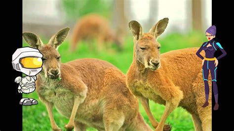 kangaroos  kids picture book  kangaroos