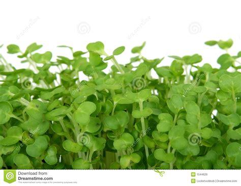 Fresh Summer Cress, Healthy Salad Garnish Food Royalty Free Stock Images   Image: 1544629