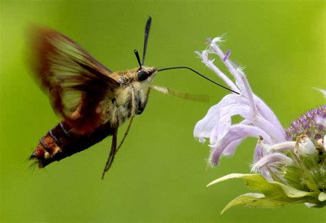 hummingbird clearwing moth what s that bug