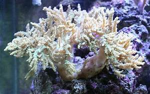 Neon Green Square Branching Sinularia Soft Coral Tank ...