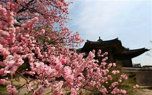 The 5 Best Places to See Cherry Blossoms in Korea, 2017 ...