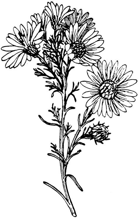 asters clipart clipground
