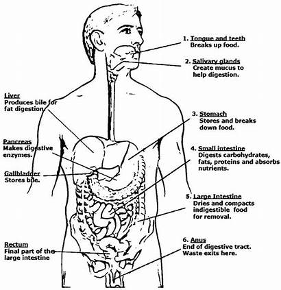 Coloring Digestive System Anatomy Physiology Sketch Pages