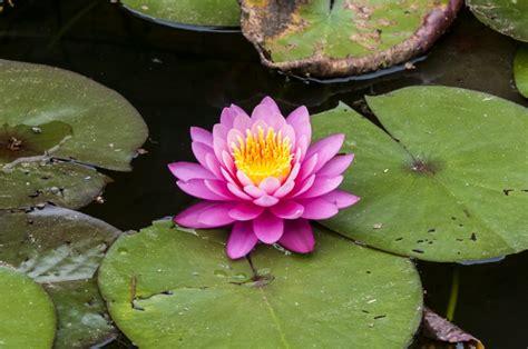 lotus blume als pflanzenidee fuer ihr zuhause