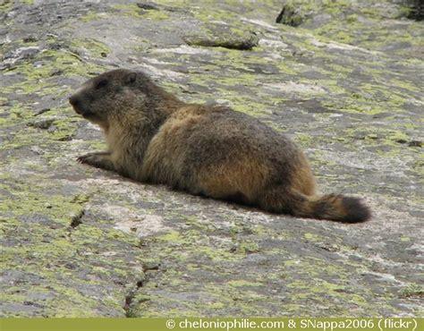 La marmotte des Alpes marmota marmota