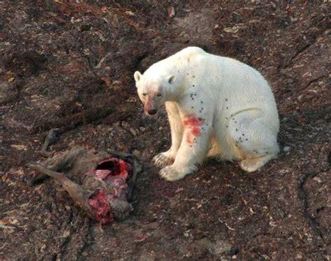 Los Osos Polares Cazan En Tierra Al Disminuir El Hielo