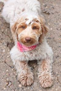 Caramel roan Australian Labradoodle puppy -gorgeous ...