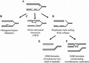 U2014model Of The Consequences Of Dna Replication Fork Failure