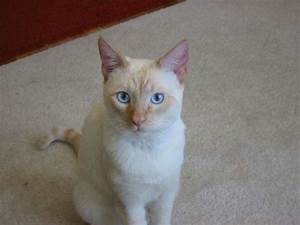 Colorpoint Shorthair Cat | Cat Breed