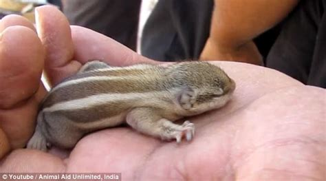 Video Shows Baby Chipmunk Is Returned To Its Nest Daily