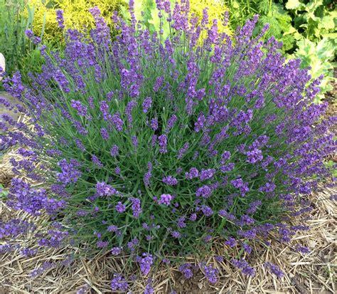 plant lavender seeds lavender garden seed kit grow organic english lavender seeds plus grow mountainlily farm
