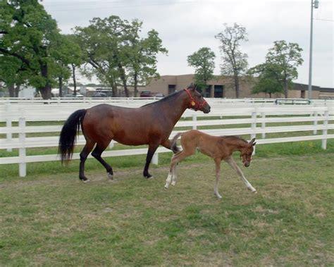 texas horse cloned america north born paris 2005 college station april am