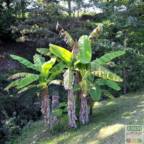planter un bananier bananier du japon entretien taille culture jardipartage