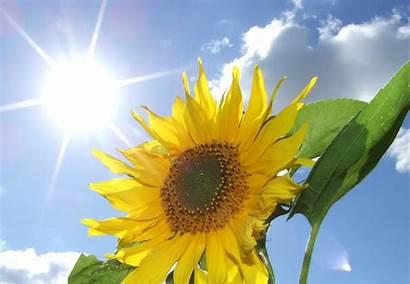 Sunflower Yellow Sun Flower Sky