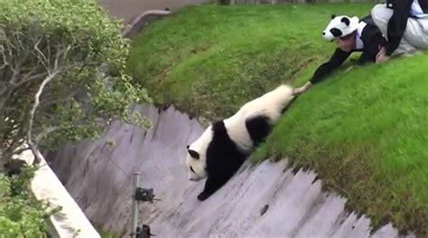 dumpertnl panda  de greppel