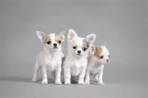 best sofa for dogs 55 cutest chihuahua dogs for home golfian com