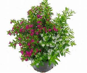 cuphea jap scheinmyrthe kaufen pflanzen versand harro39s With garten planen mit zimmerpflanzen versand online bestellen