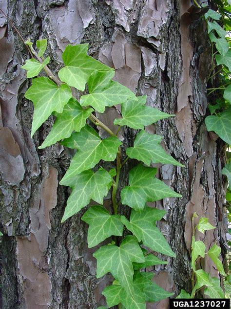 English ivy, Hedera helix (Apiales: Araliaceae) - 1237027