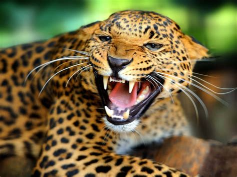 angry leopard shows sharp teeth hd wallpaper