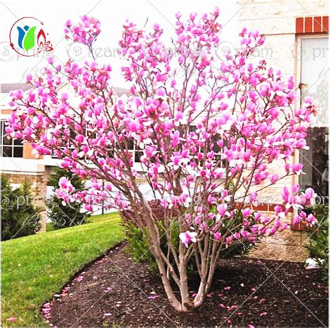 ornamental magnolia tree aliexpress com buy 30pcs bag magnolia seeds magnolia tree seeds magnolia flowers seeds for
