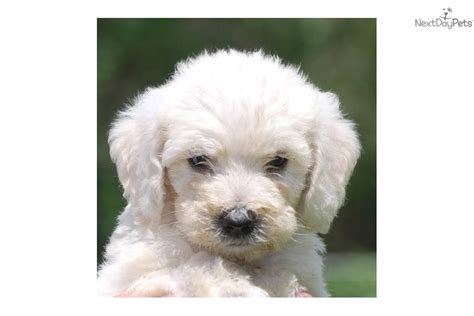 cutest non shedding dogs goldendoodle puppy for sale near west palm florida