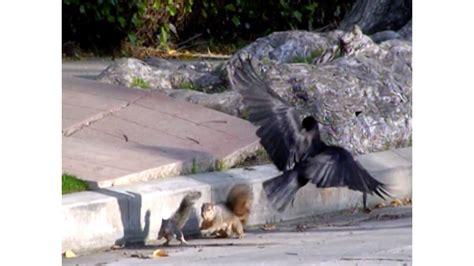 confused baby squirrel attacked  crows mama squirrel