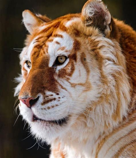 Golden Tiger Animals That Love Beautiful