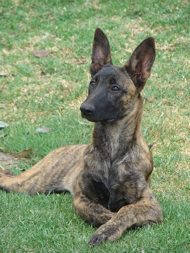 dutch shepherd  dutchies   similar