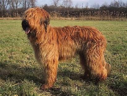 Briard Dog Dogs Breed Snapshot Puppies Petpaw