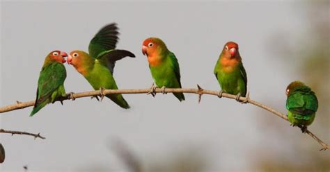 lovebird diet and grooming planetanimalzone