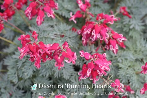 dicentra burning hearts ppaf shipping early  mid