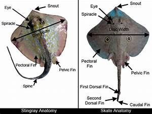 Skate  U0026 Ray Anatomy  U2013 Discover Fishes
