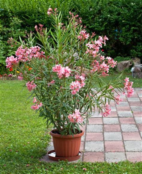 oleander im topf oleander nerium oleander pflege und 220 berwintern