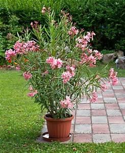 Enzian Schneiden Und überwintern : oleander pflege schneiden vermehren und berwintern ~ Lizthompson.info Haus und Dekorationen