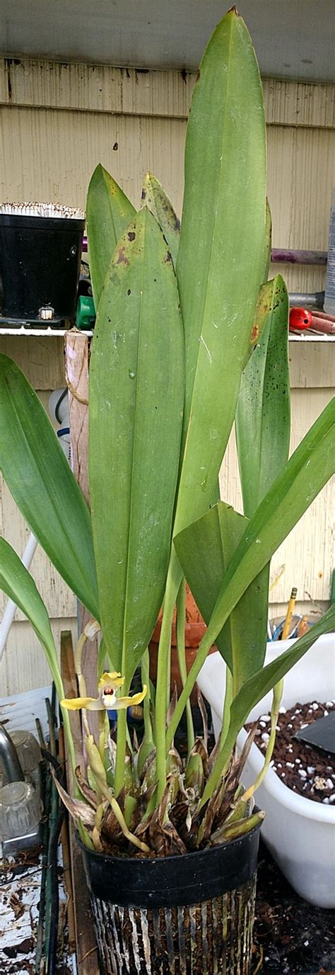 Yellow maxillaria ... ID??   Orchids Forum
